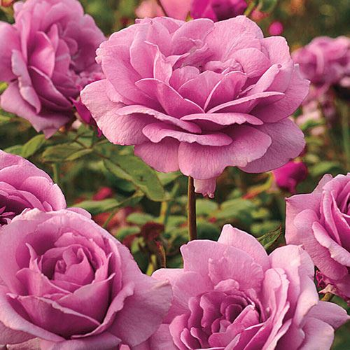 Sugar Plum Hybrid Tea Rose