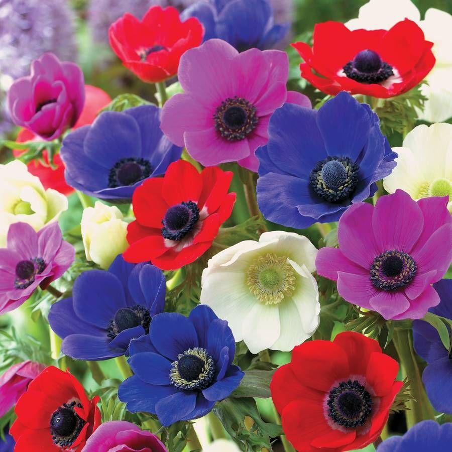 De Caen Poppy Anemone Bulb - Pack of 10 Image