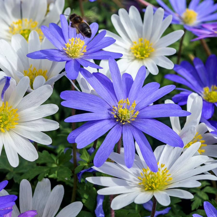 Anemone Blanda Mix Zoom Image Touch To 08051 Pk 20 Jpg