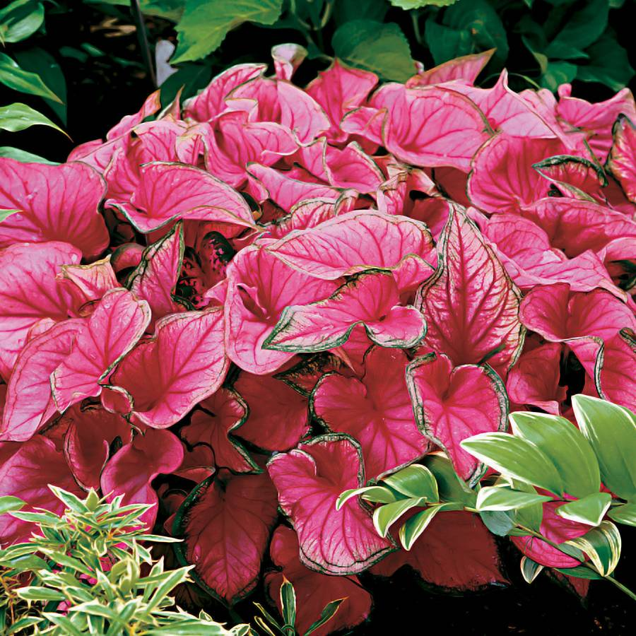 Sweetheart Caladium Bulbs Pack Of 5