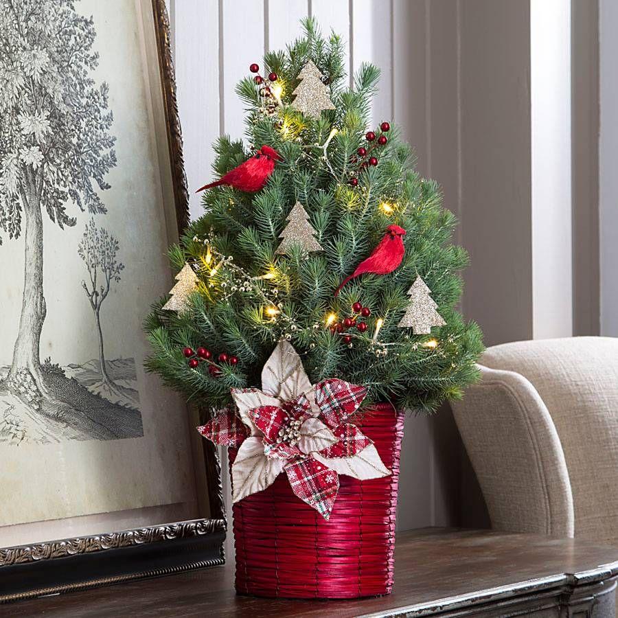 live tabletop christmas tree photo album christmas tree. Black Bedroom Furniture Sets. Home Design Ideas