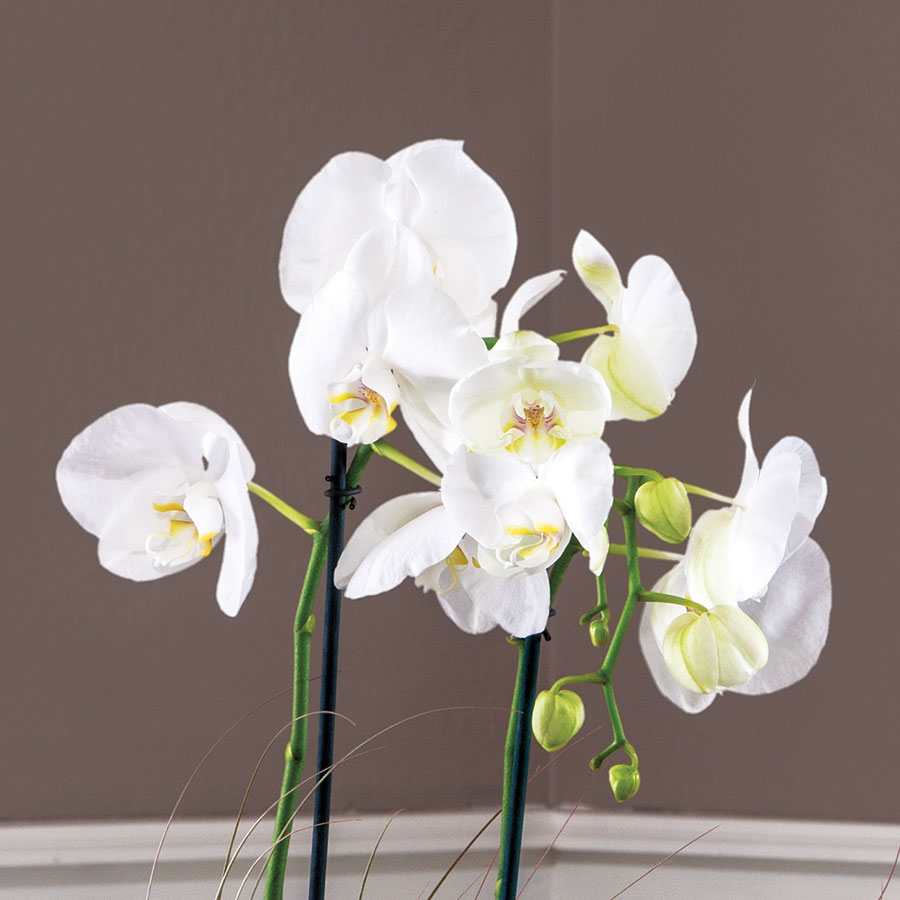 Snow Kissed Orchid