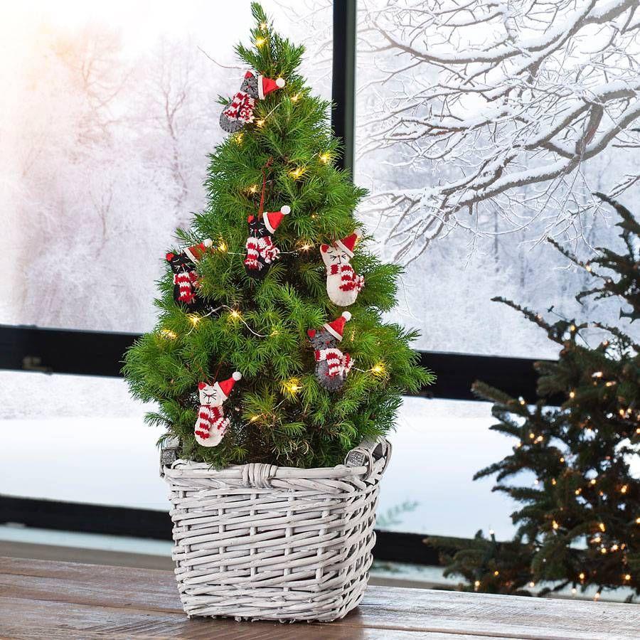 tabletop christmas tree living spruce. Black Bedroom Furniture Sets. Home Design Ideas