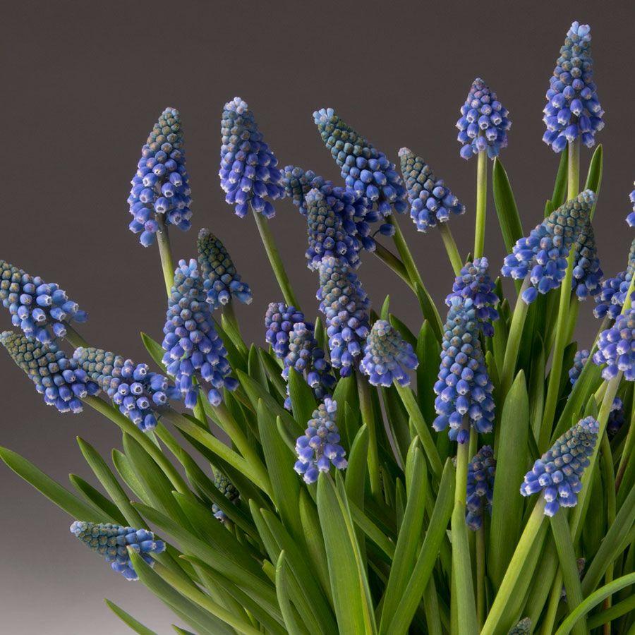 Blue Muscari Bulb Garden