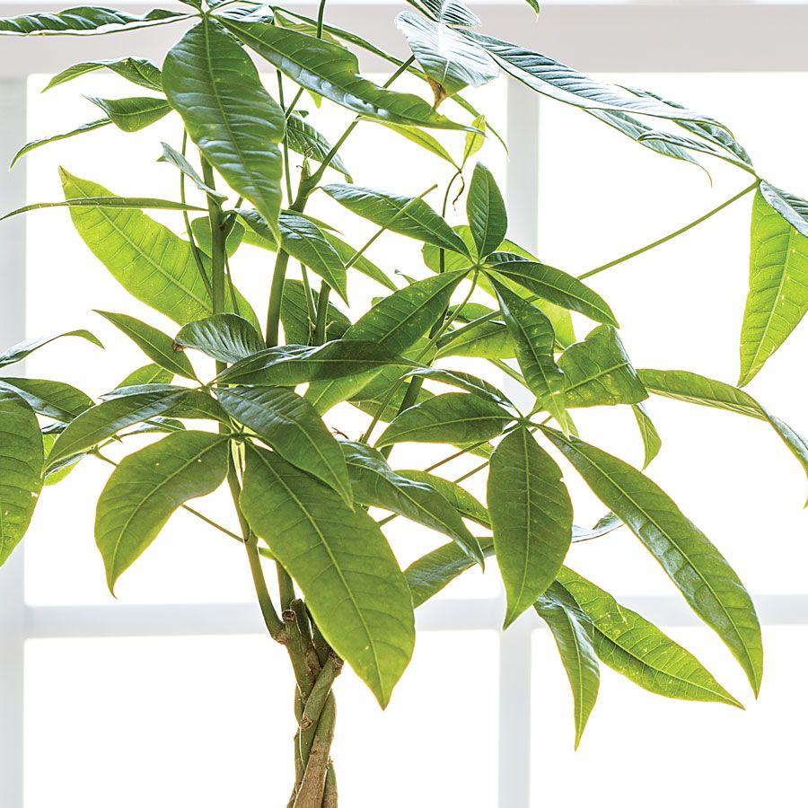 Money Tree Gift
