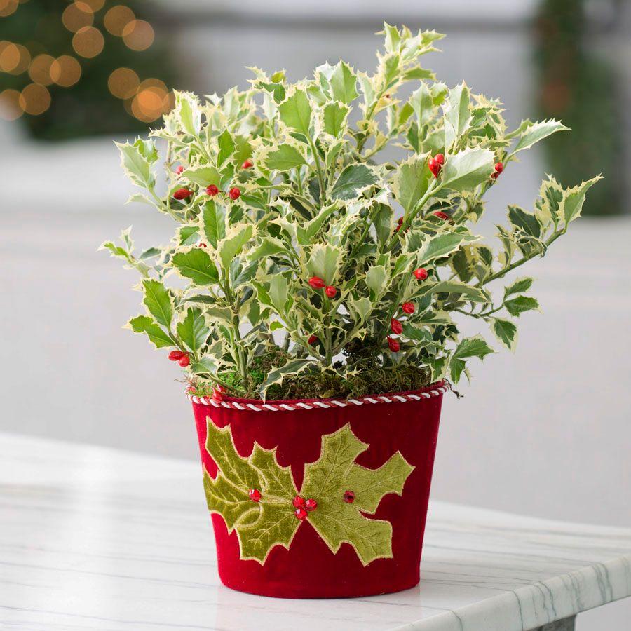 Holly Jolly Plant