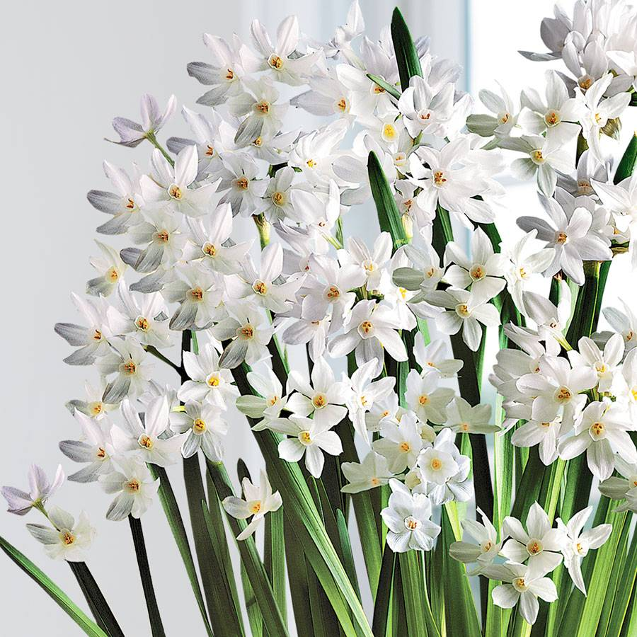 Merry & Bright Paperwhites