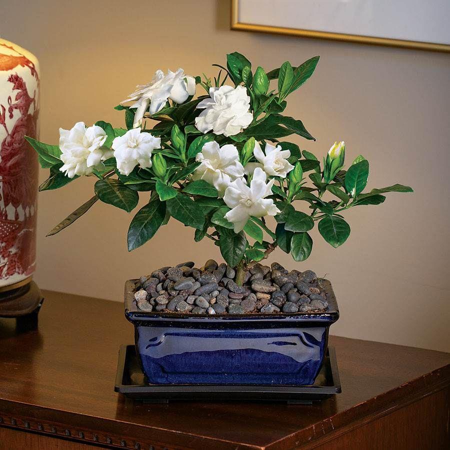 Warm Wishes Gardenia Image