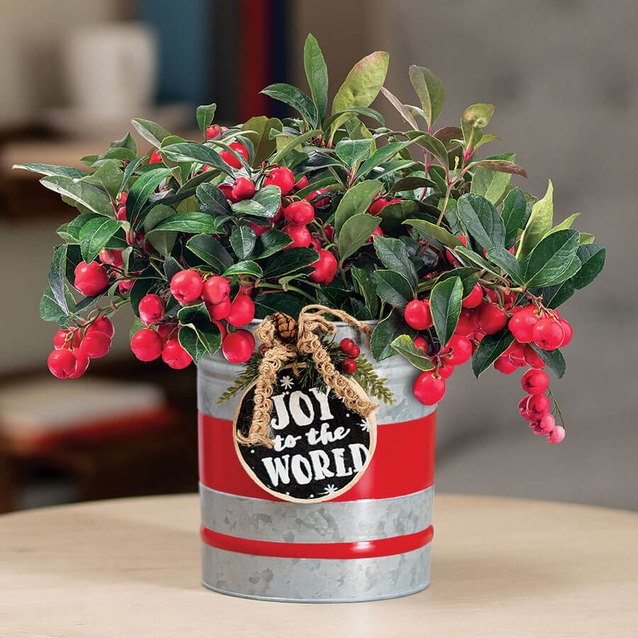 Bountiful Wintergreen Image