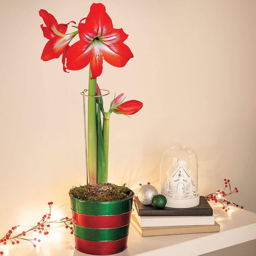 Merry & Bright Amaryllis - Single Image