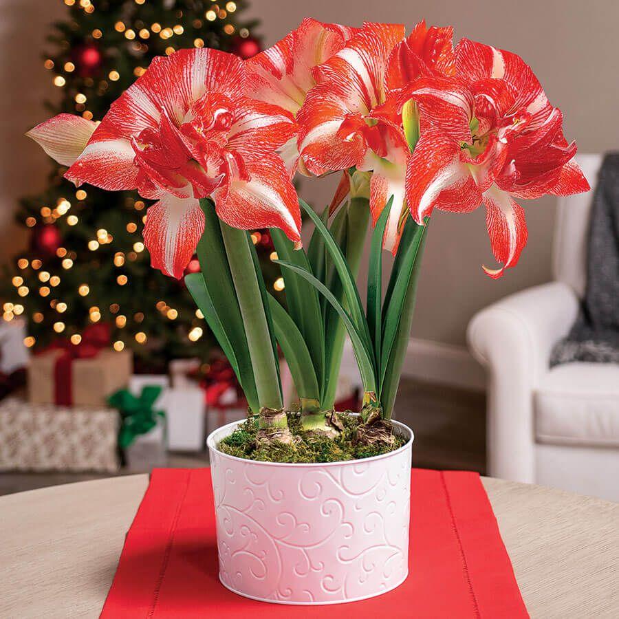 Joy of Christmas Amaryllis - Triple Image