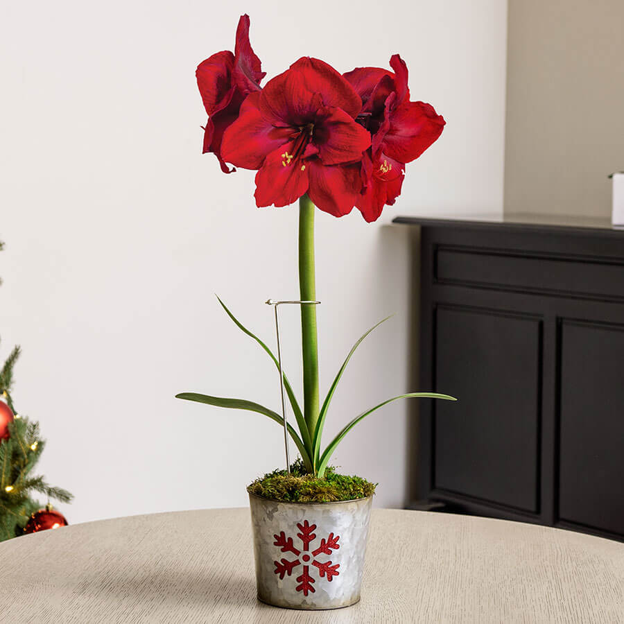 Winter's Warmth Amaryllis Image
