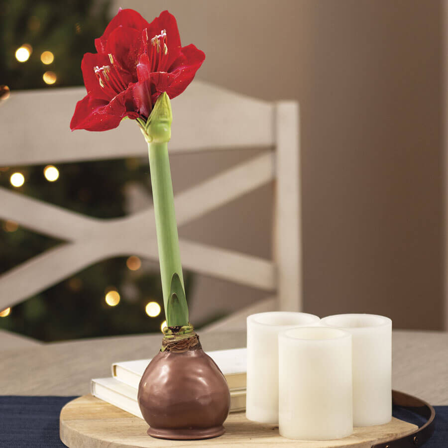 Copper Waxed Red Lion Amaryllis Image