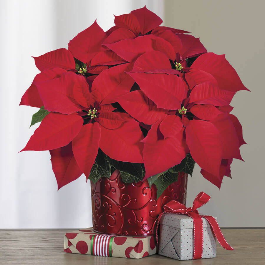 All That Glitters Poinsettia Image
