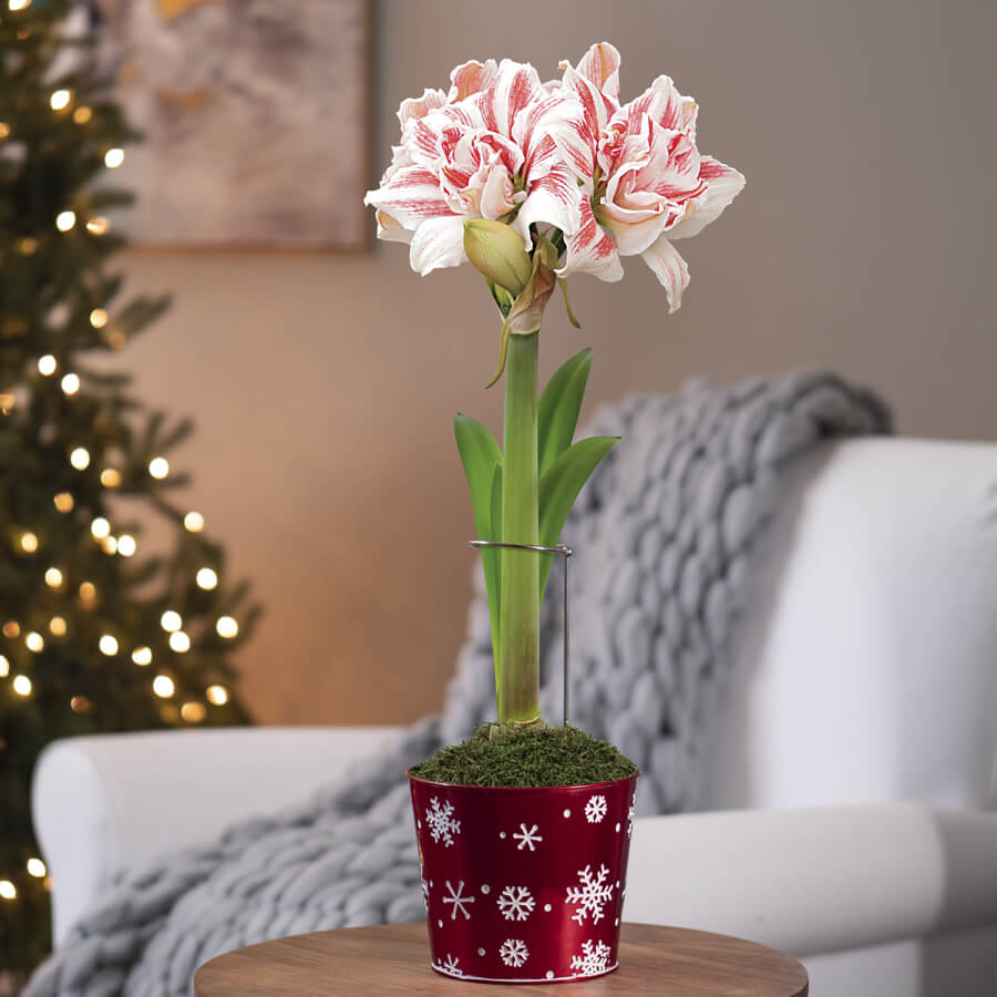 Holiday Song Single Dancing Queen Amaryllis Image