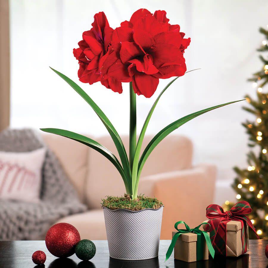 Joyous Season Single Ragtime Amaryllis Image