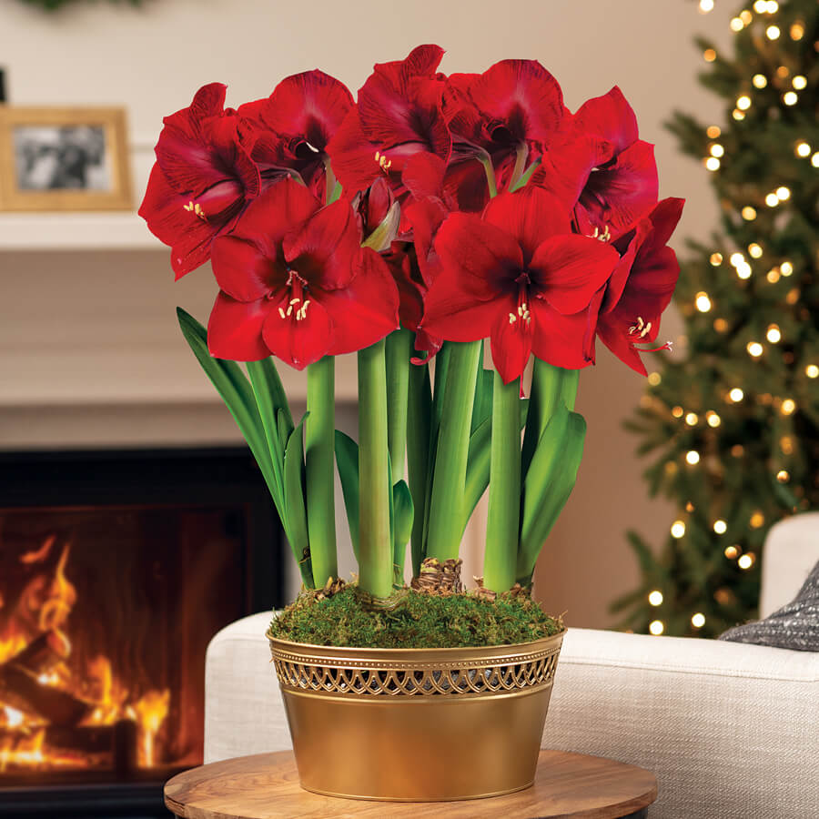Holiday Pageant Ultimate Red Lion Amaryllis Image