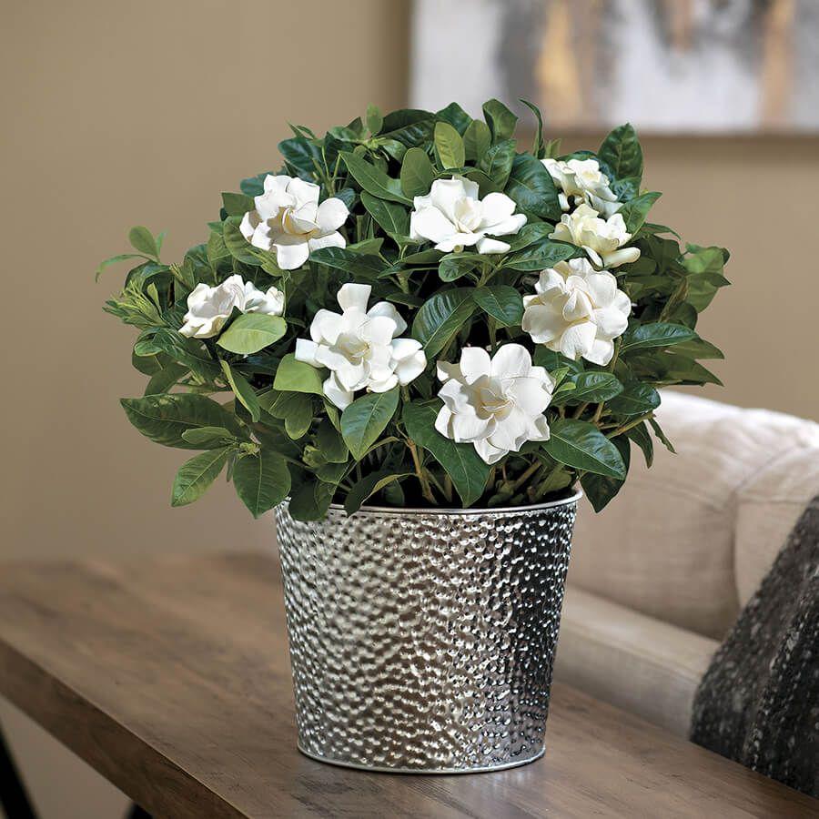 Glamorous Gardenia Image