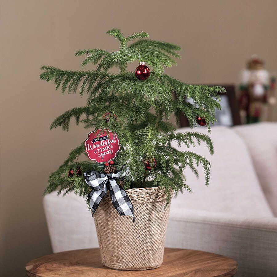 Norfolk Pine Image