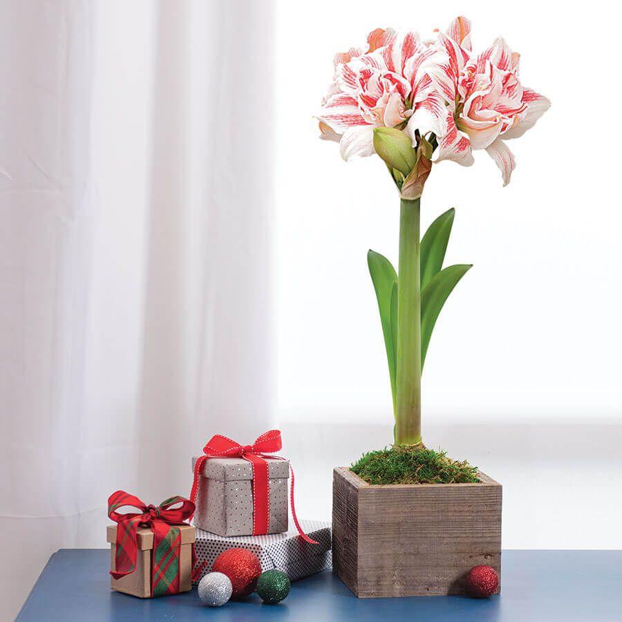 Charming Beauty Amaryllis - Single Image