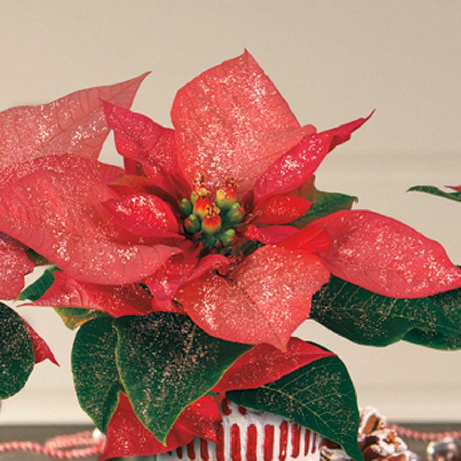 Holiday Shimmer Poinsettia Trio
