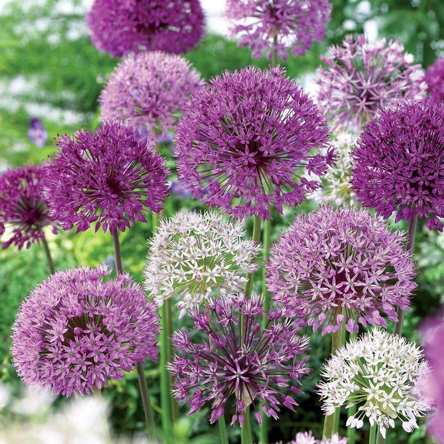 Allium Garden Box Mix Image