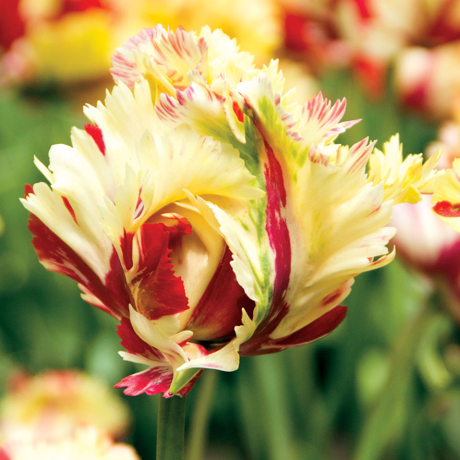 Parrot tulip 39 texas flame 39 at jackson perkins for Tulip garden in texas