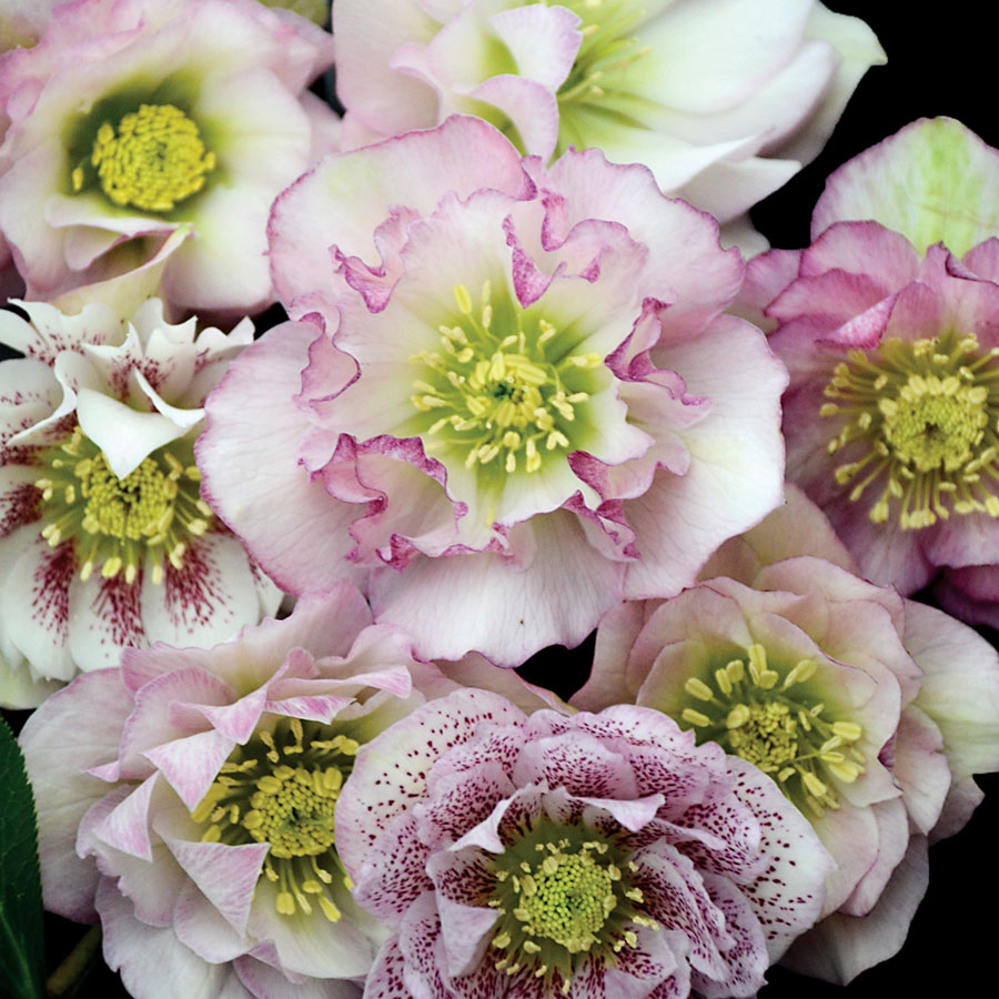 Helleborus Wedding Party™ 'Confetti Cake'