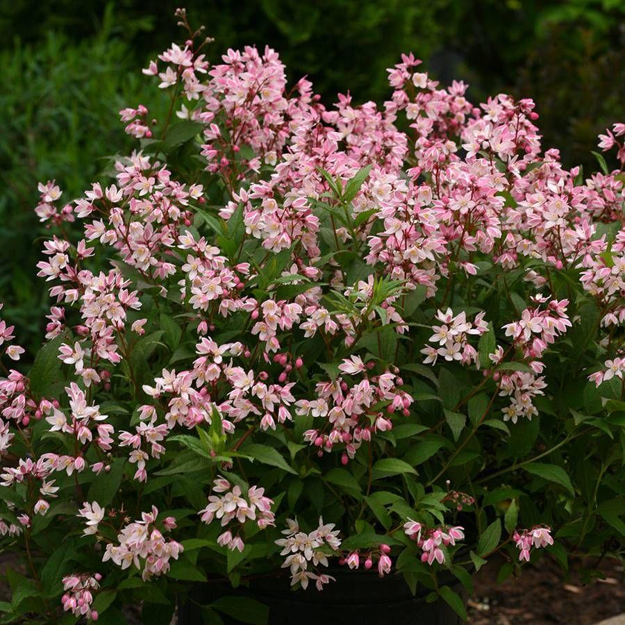 Yuki Cherry Blossom Deutzia