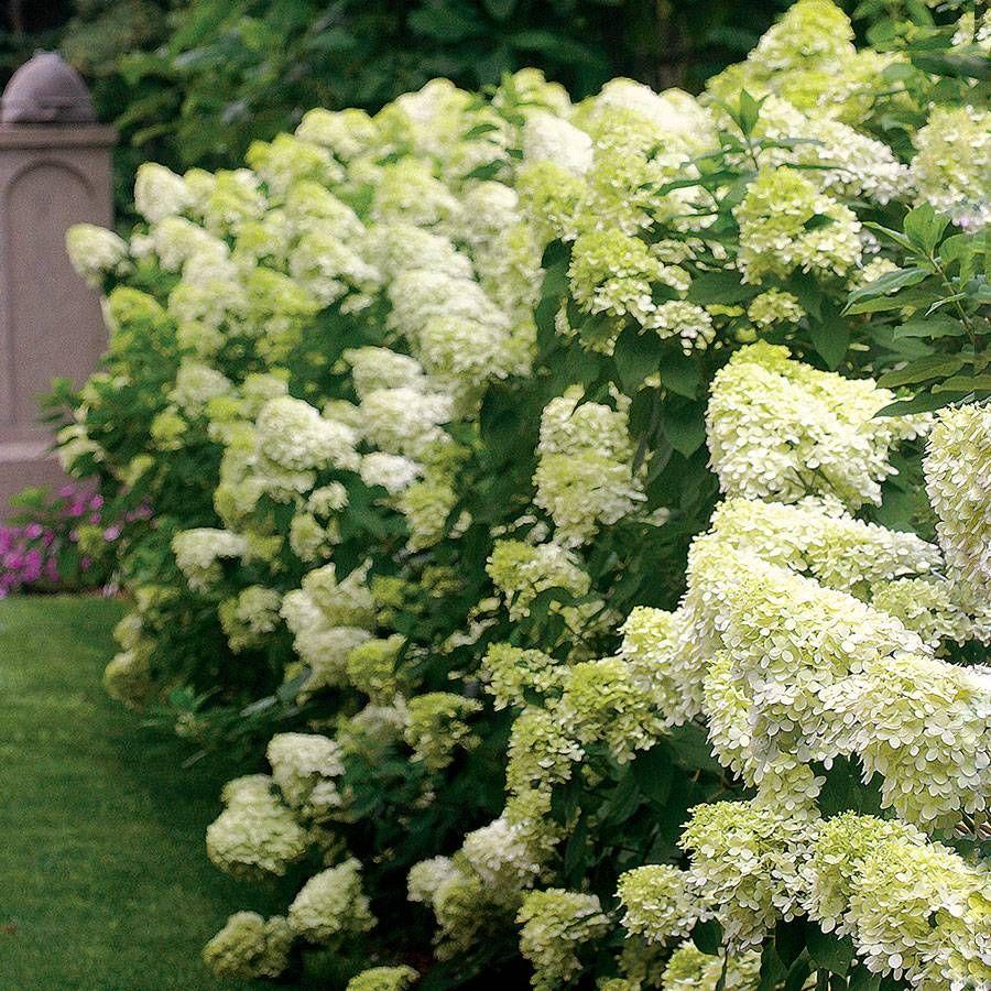 Hydrangea Shrubs Americas Favorite Flowering Shrub Plant