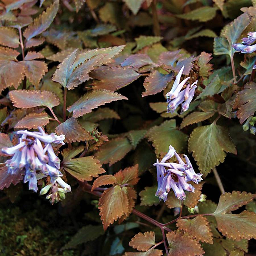 Corydalis temulfolia 'Chocolate Star'