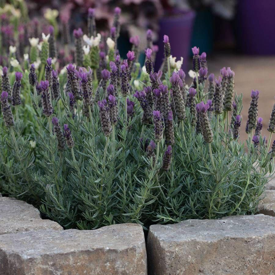 Anouk Deep Rose Spanish Lavender