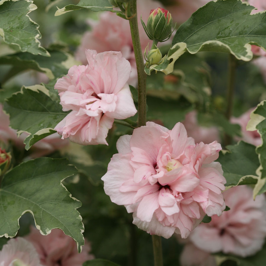 Hibiscus sugar tip at jackson perkins hibiscus sugar tip izmirmasajfo