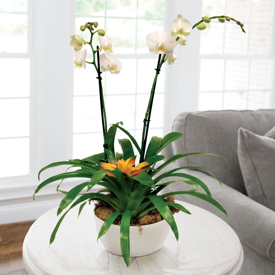 Bromeliad And Moth Orchid In White Container At Jackson Perkins