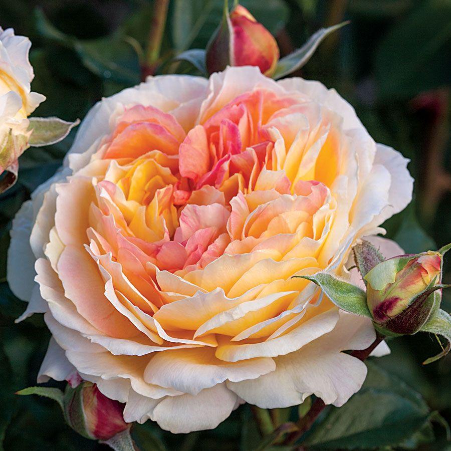 La park floribunda rose at jackson and perkins la park floribunda rose buycottarizona Choice Image
