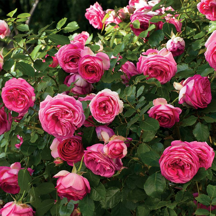 Pretty In Pink Eden Climbing Rose