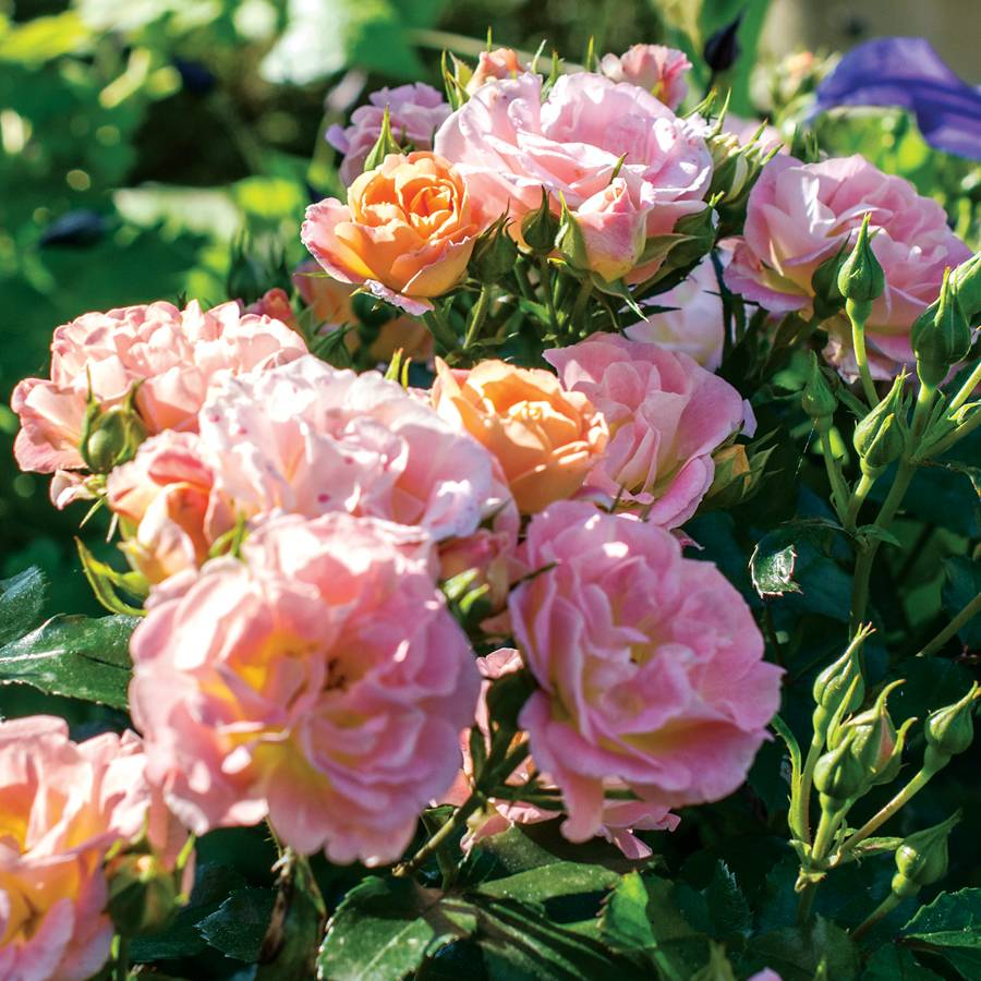 Peach Drift® Groundcover Rose
