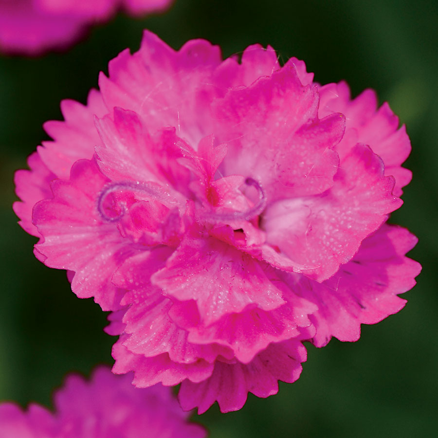 Dianthus Mountain Frost Pink Pompom