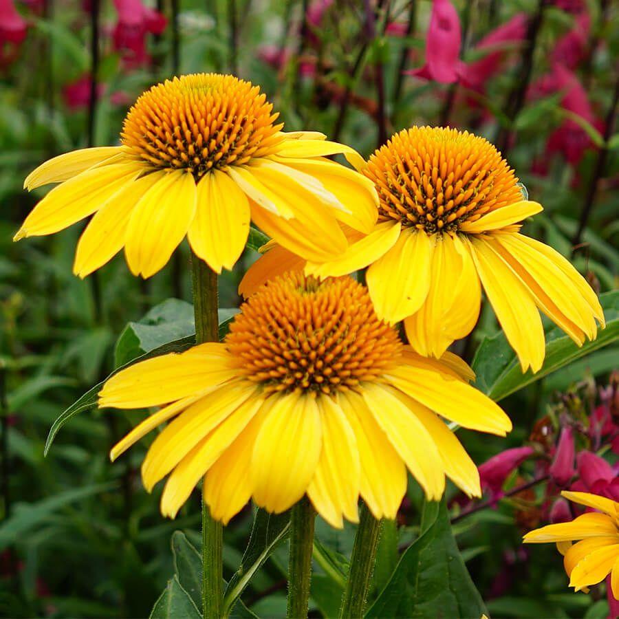 Echinacea Sombrero® Lemon Yellow Improved Image