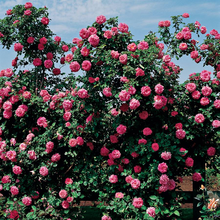America Climbing Rose For Sale At Jackson Perkins