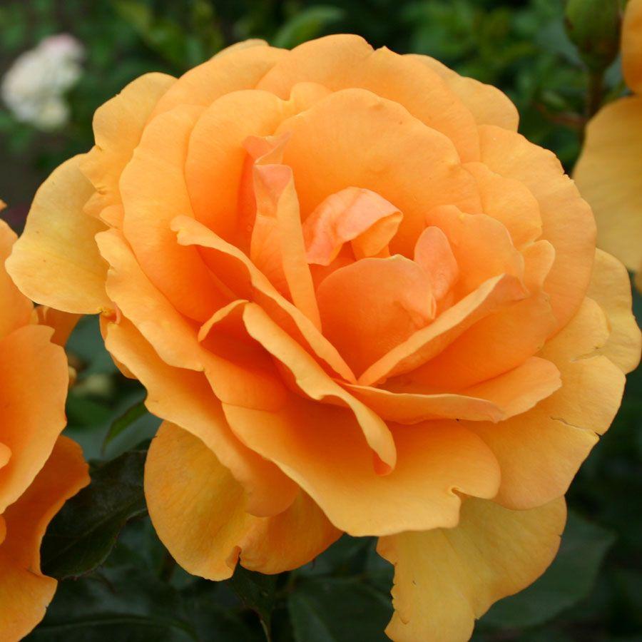 South Africa® Sunbelt® Grandiflora Rose Image