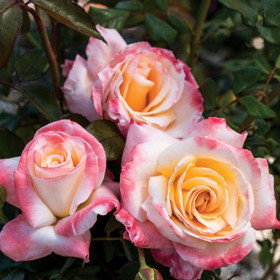 Women's Celebration Hybrid Tea Rose