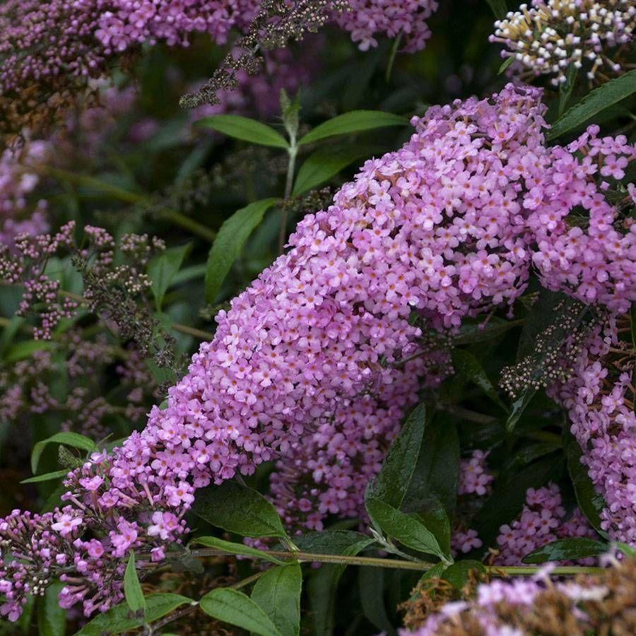 Buddleia 'Pink Cascade'