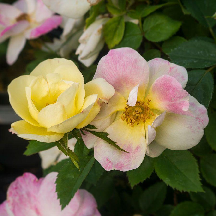 Rosa Peach Lemonade®