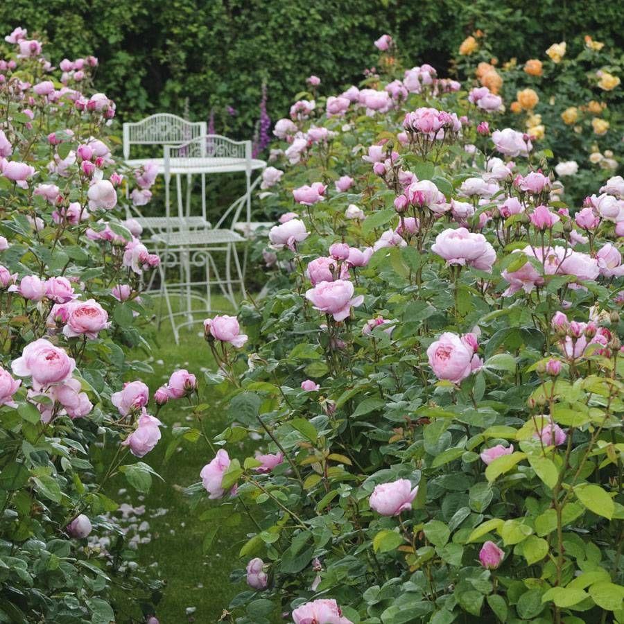 The Alnwick® Shrub Rose