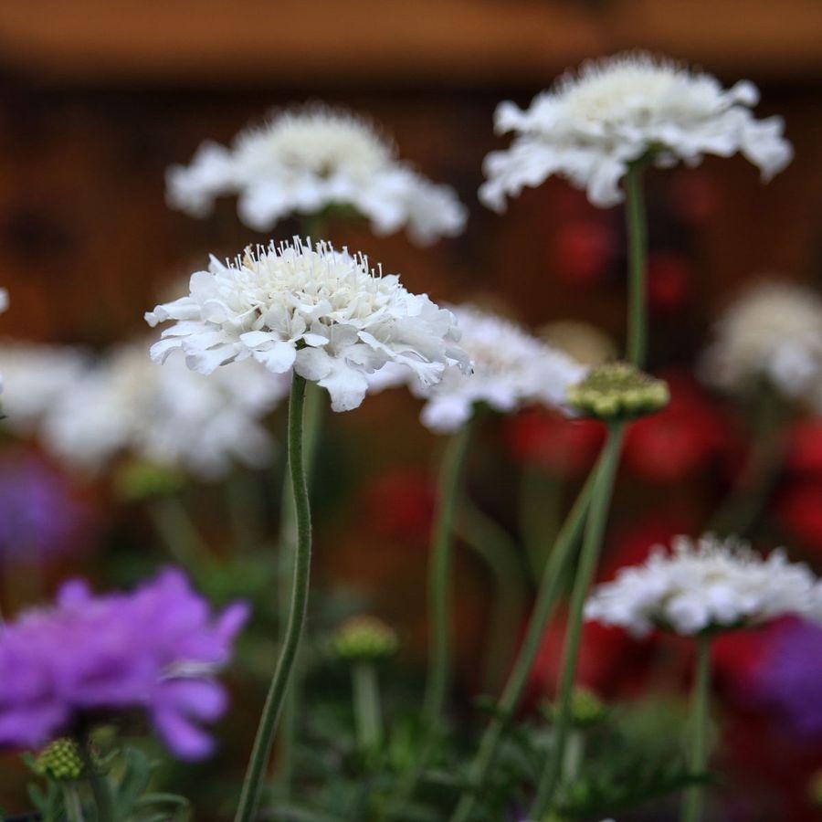 Scabiosa columbaria Flutter Series Pure White