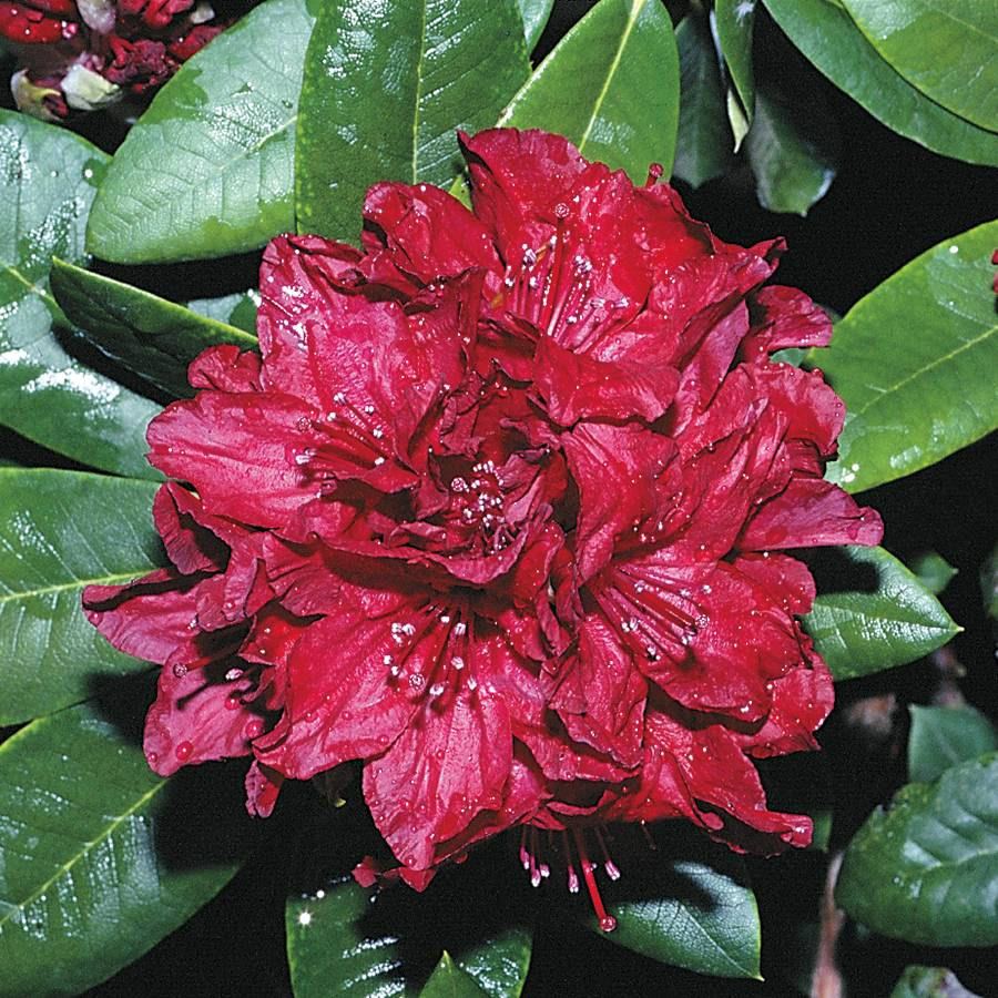 Firestorm Rhododendron