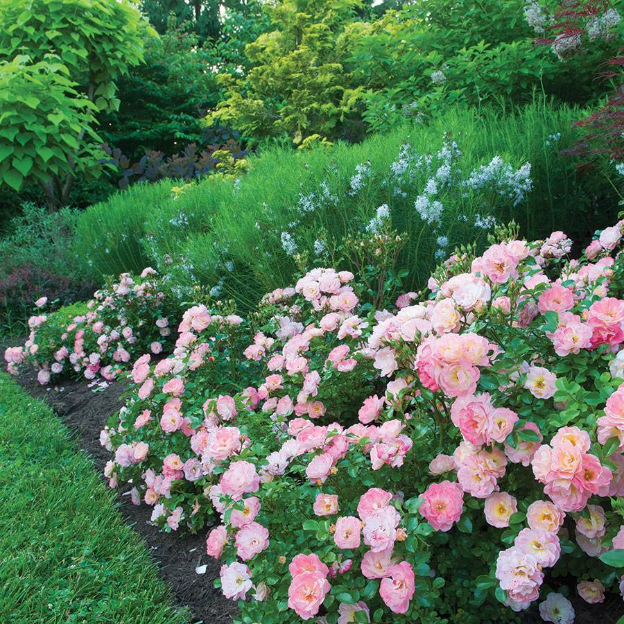 Best ground cover roses for shade round designs for Hardy low maintenance shrubs