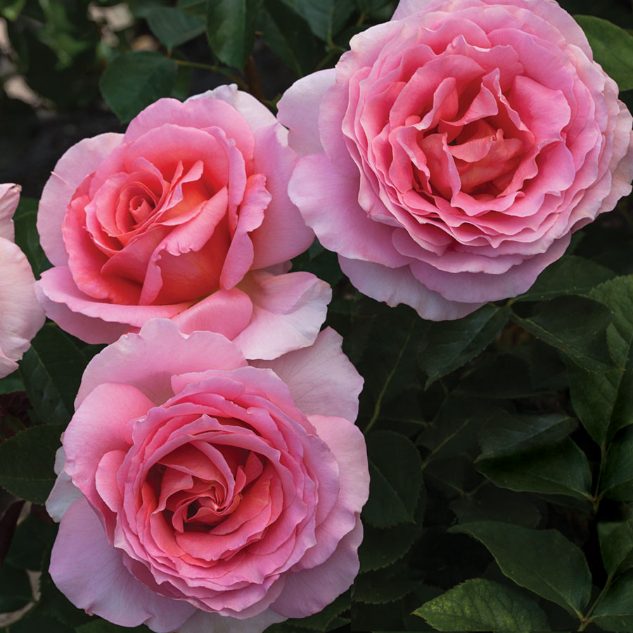 'Dr. Jane Goodall' 36-inch Tree Rose Image