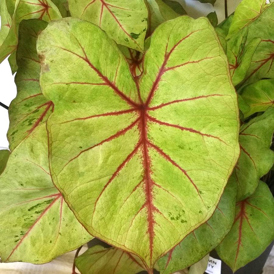 Caladium Autumn Beauty